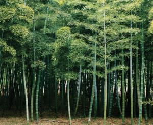 bambù