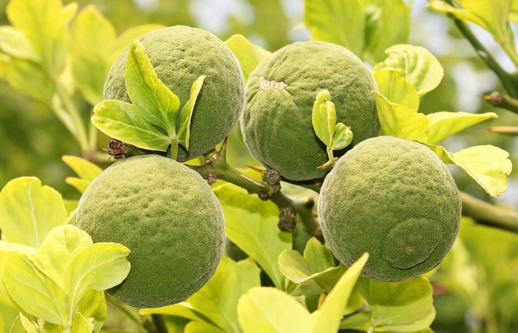 Citrus Tristeza Virus