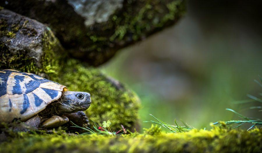 allevare tartarughe di terra