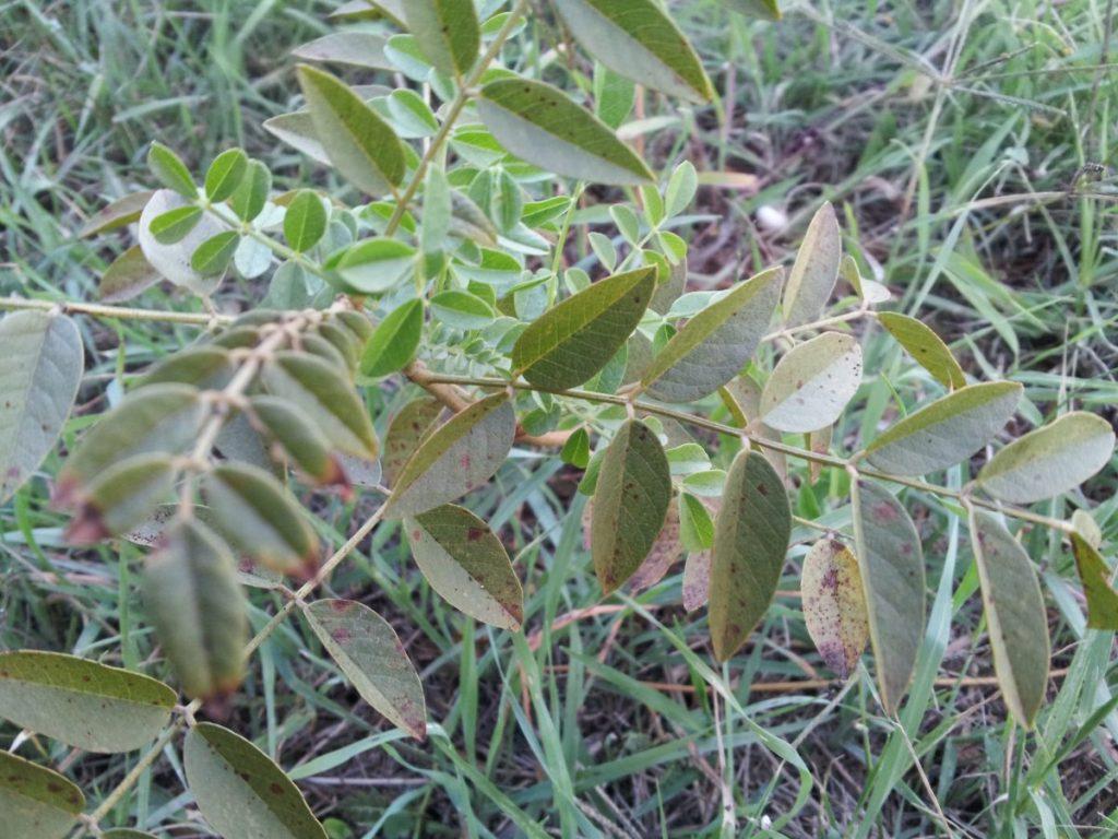 coltivazione della liquirizia