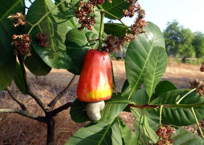 albero anacardi