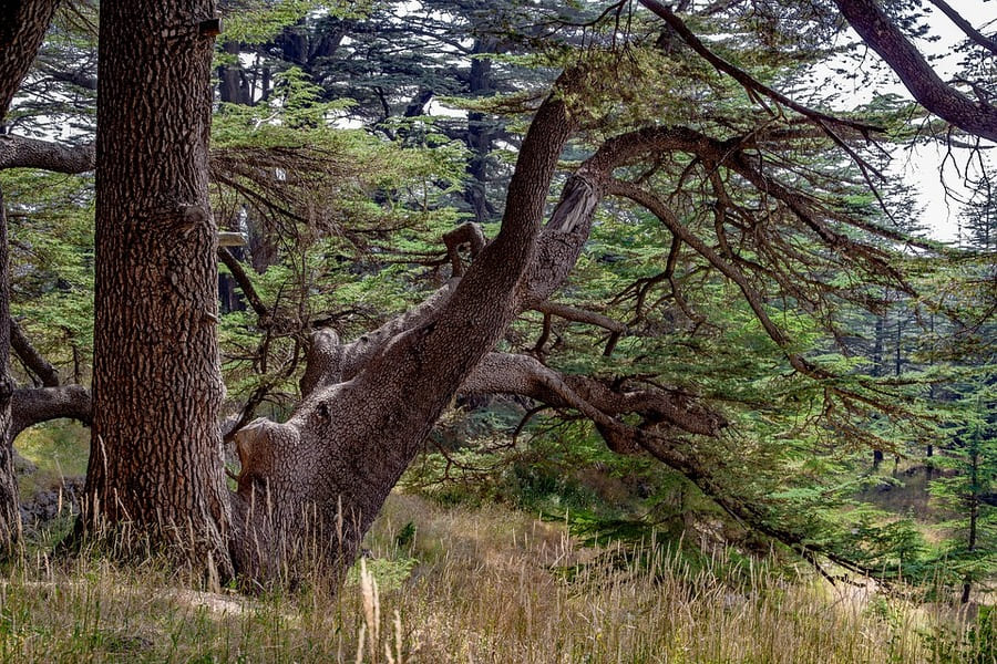cedro cipro