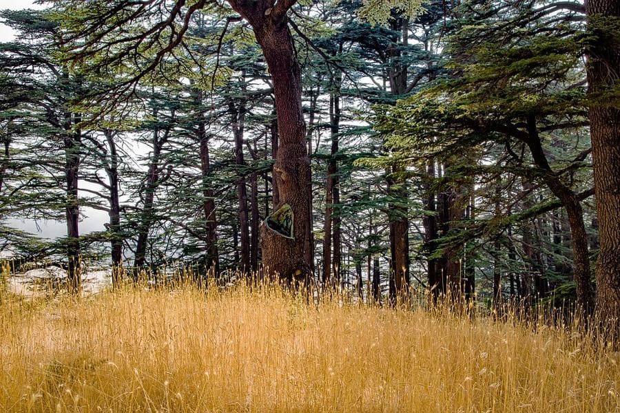 cedro della foresta