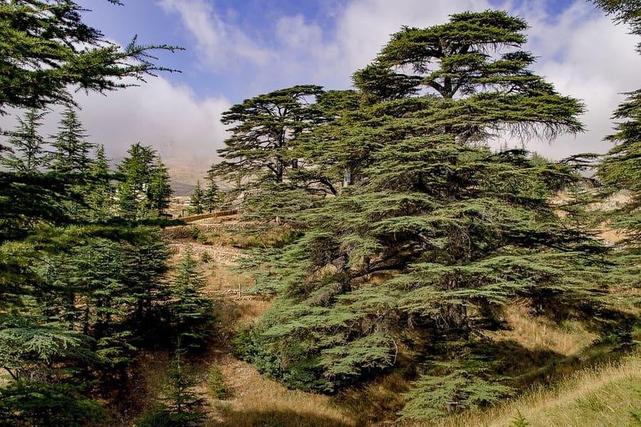cedro libanese