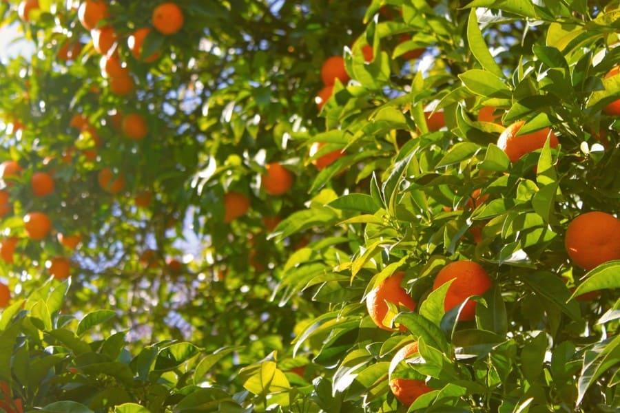 coltivazione arance