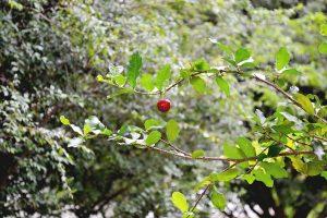frutto azzeruolo