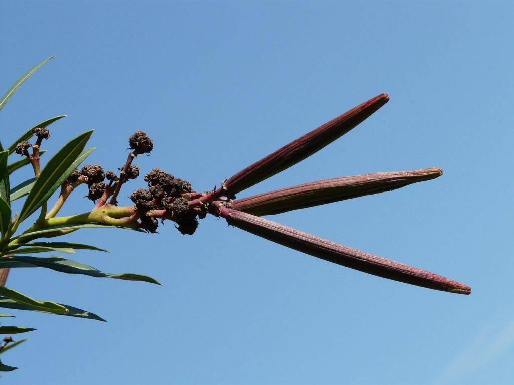 potatura dell'oleandro