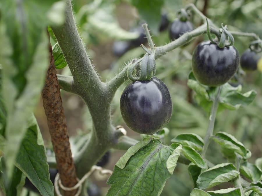 pomodori scuri