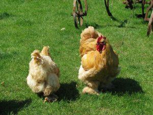 come si alleva la gallina cocincina