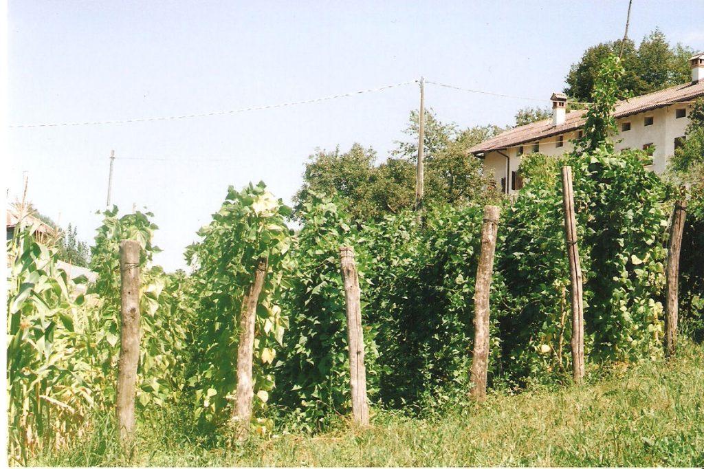 coltivare i fagiolini rampicanti