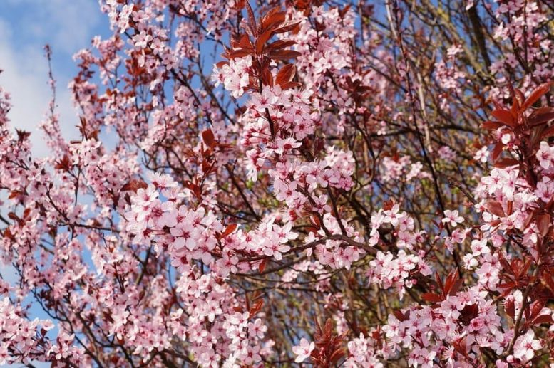 alberi ornamentali