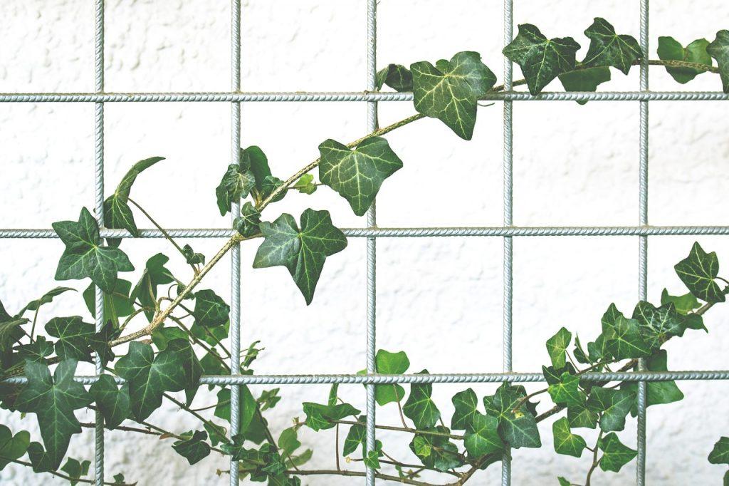 piante da frutto rampicanti
