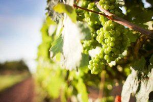 concime uva