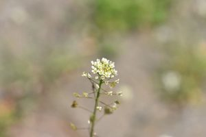 fiori di rafano