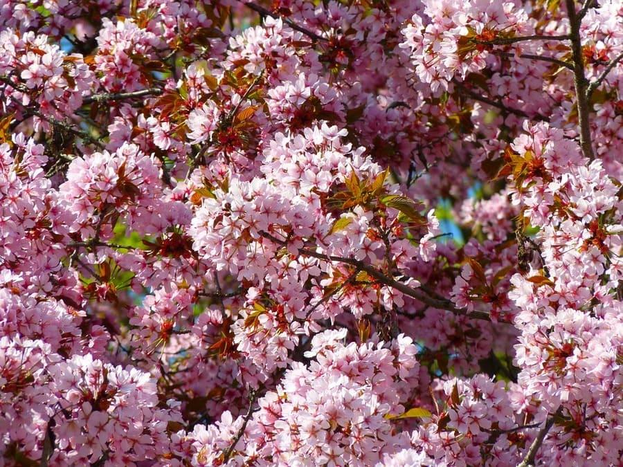 fiori mirabolano
