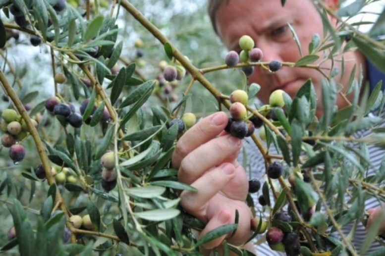 lebbra olive