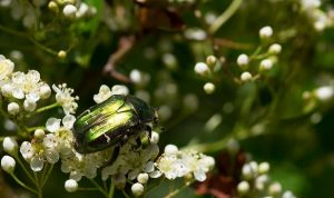scarabeo rosa