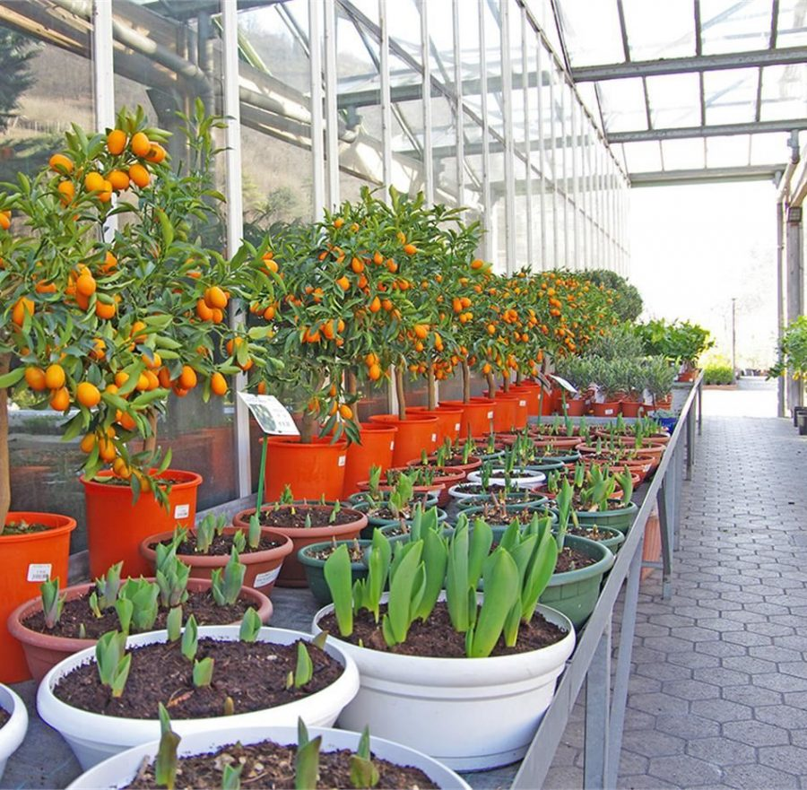 Piante Da Frutto Nane piante da frutto nane: caratteristiche e coltivazione per
