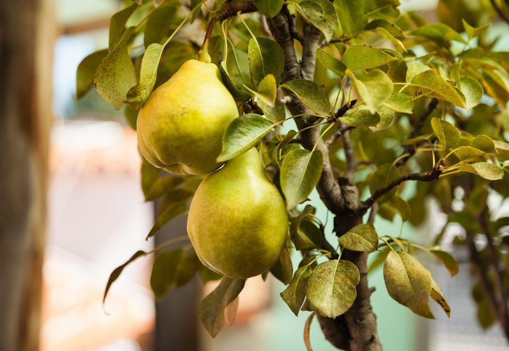 Piante da frutto nane caratteristiche e coltivazione per for Piante da frutto nane