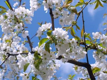 fiori di ciliegio Ferrovia