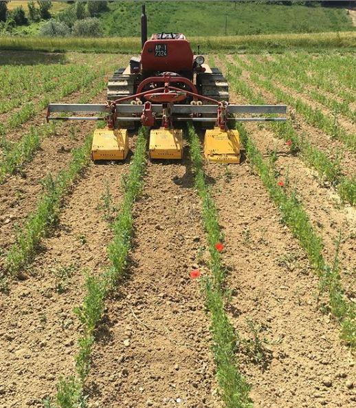 coltivazione-di-anice-in-pieno-campo