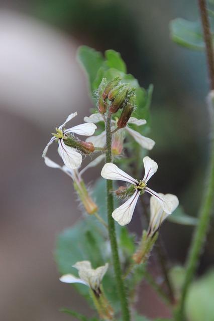 fiore rucola