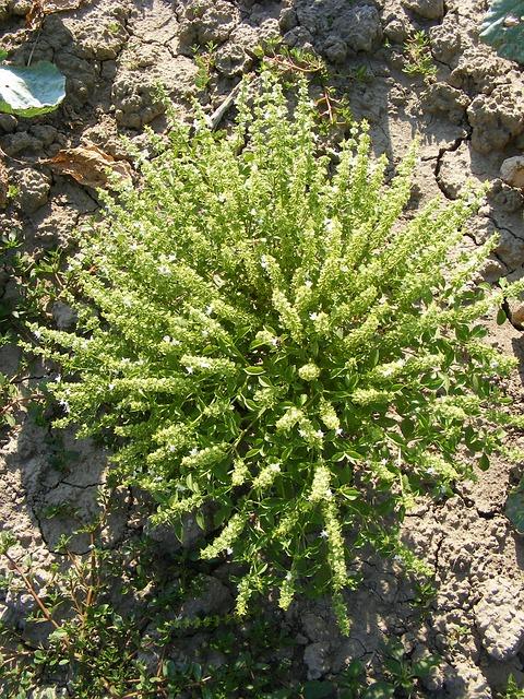 fiori di basilico greco