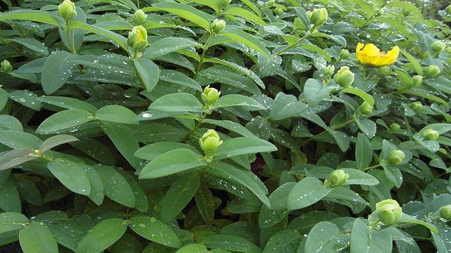 foglie iperico