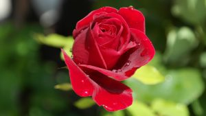 troppo concime alle rose