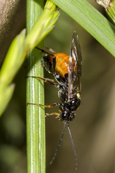 adulto mosca delle rose
