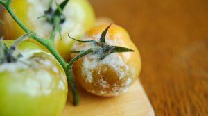 botrite pomodoro rimedi naturali