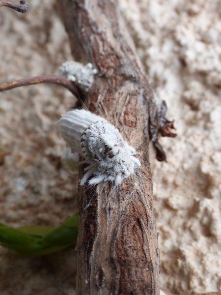 parassiti delle piante aromatiche