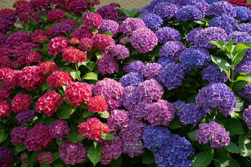 far fiorire le ortensie richiede molta cura