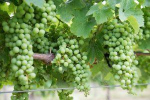 coltivazione dello chardonnay