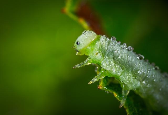 larva di tentredine della rosa