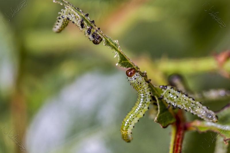 larve mosca delle rose
