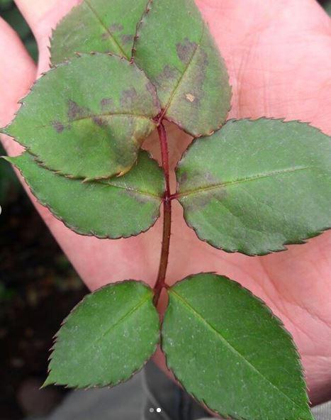 malattie fungine, peronospora