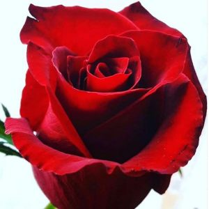 rosa da copertina