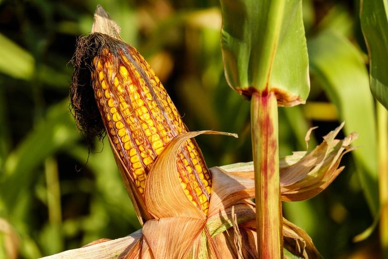 coltura malattia del mais