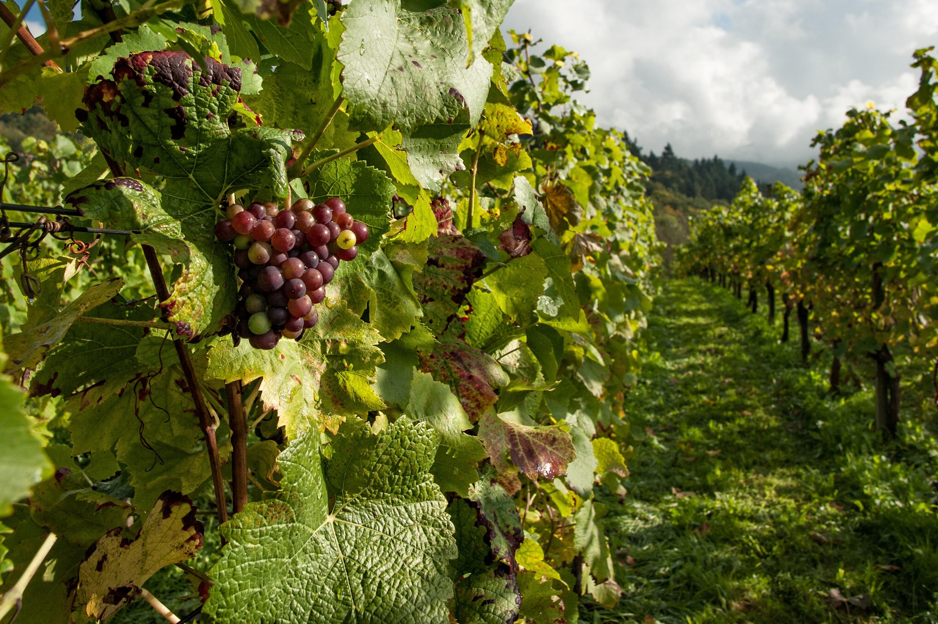 flavescenza dorata cura dei vitigni
