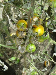 fusariosi delle piante su pomodoro
