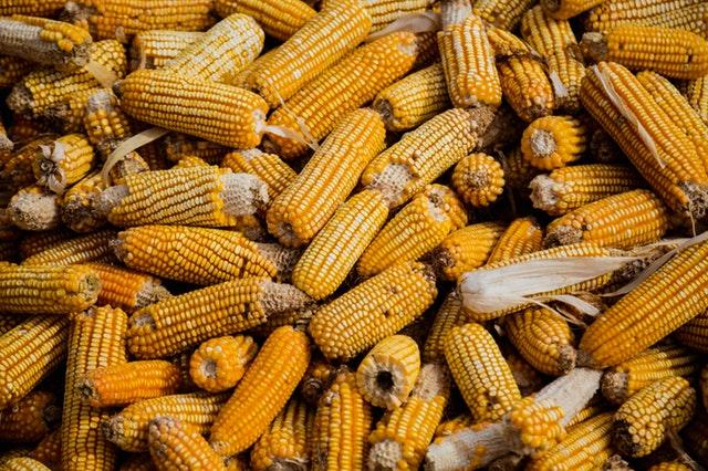 pannocchie malattia del mais