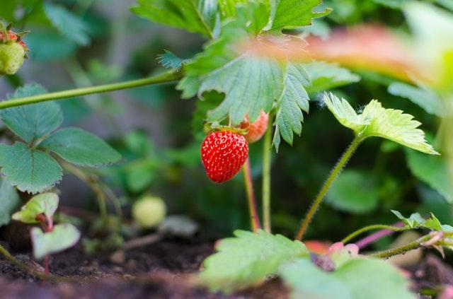 pianta di fragole