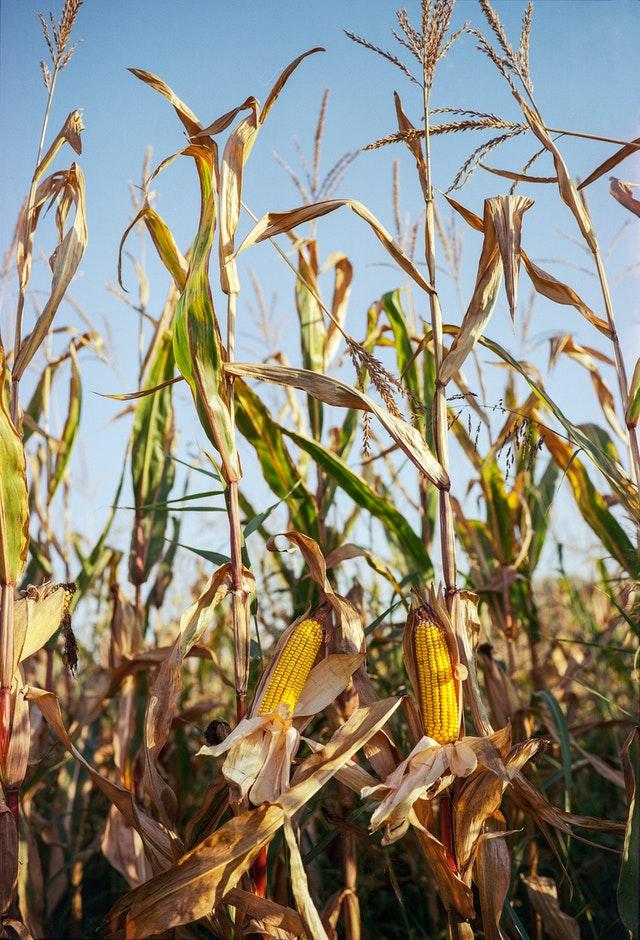 piantagione di mais