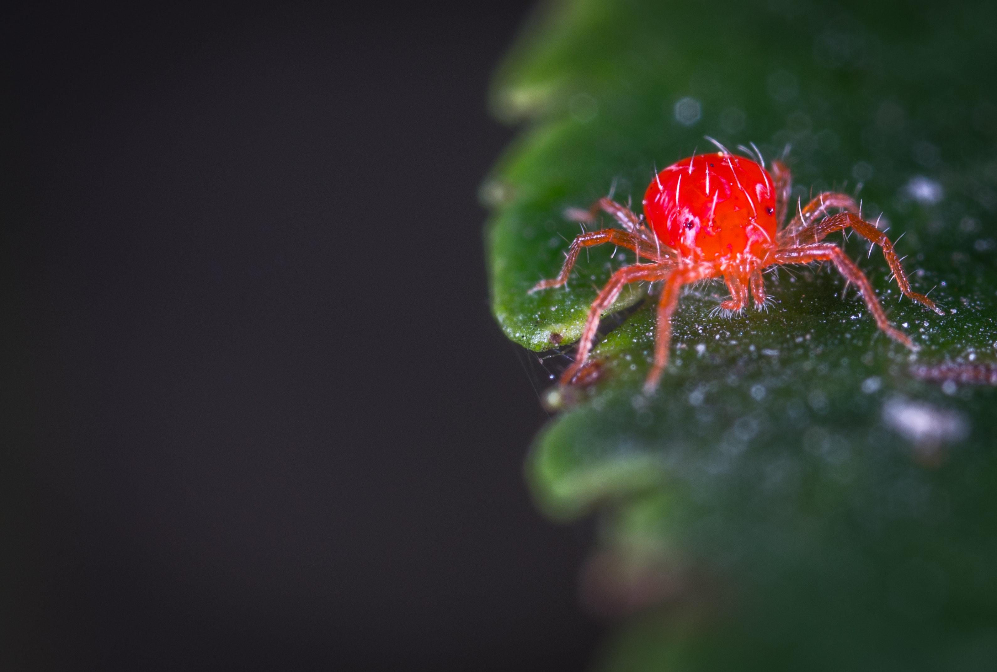 ragnetto rosso parassiti delle fragole