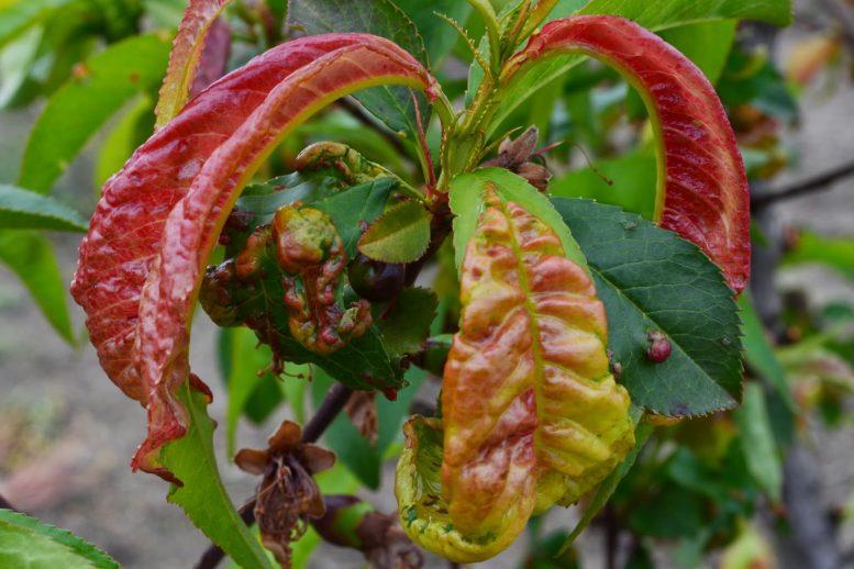 foglie rosse del pesco