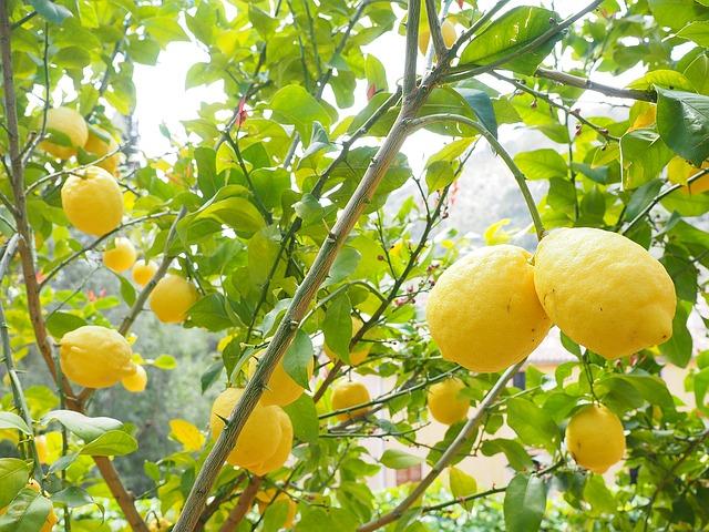 albero di limone