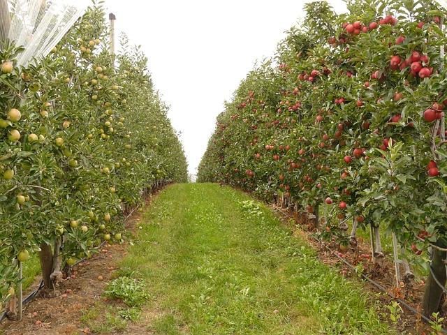 concimazione post raccolta - frutteto