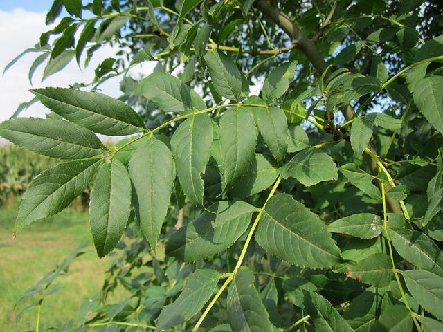 foglie macchiate del frassino