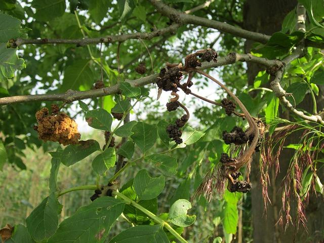 parassiti del frassino - fraxinus excelsior